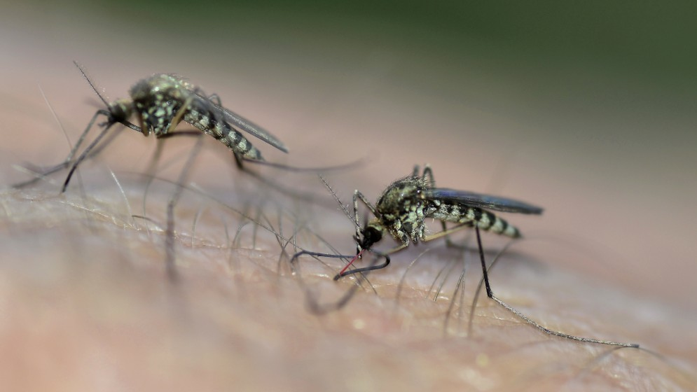 Image of two mosquitoes