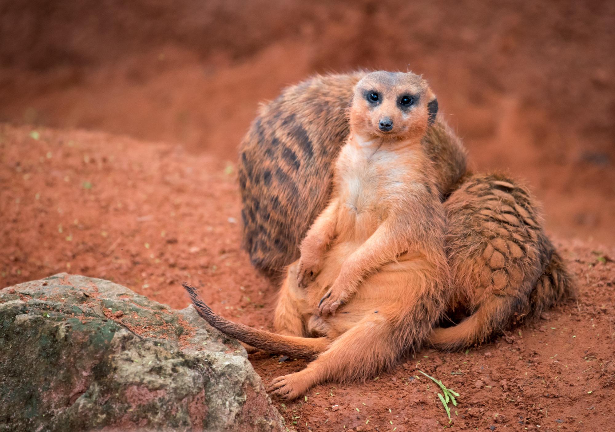 Meerkat at Busch Gardens
