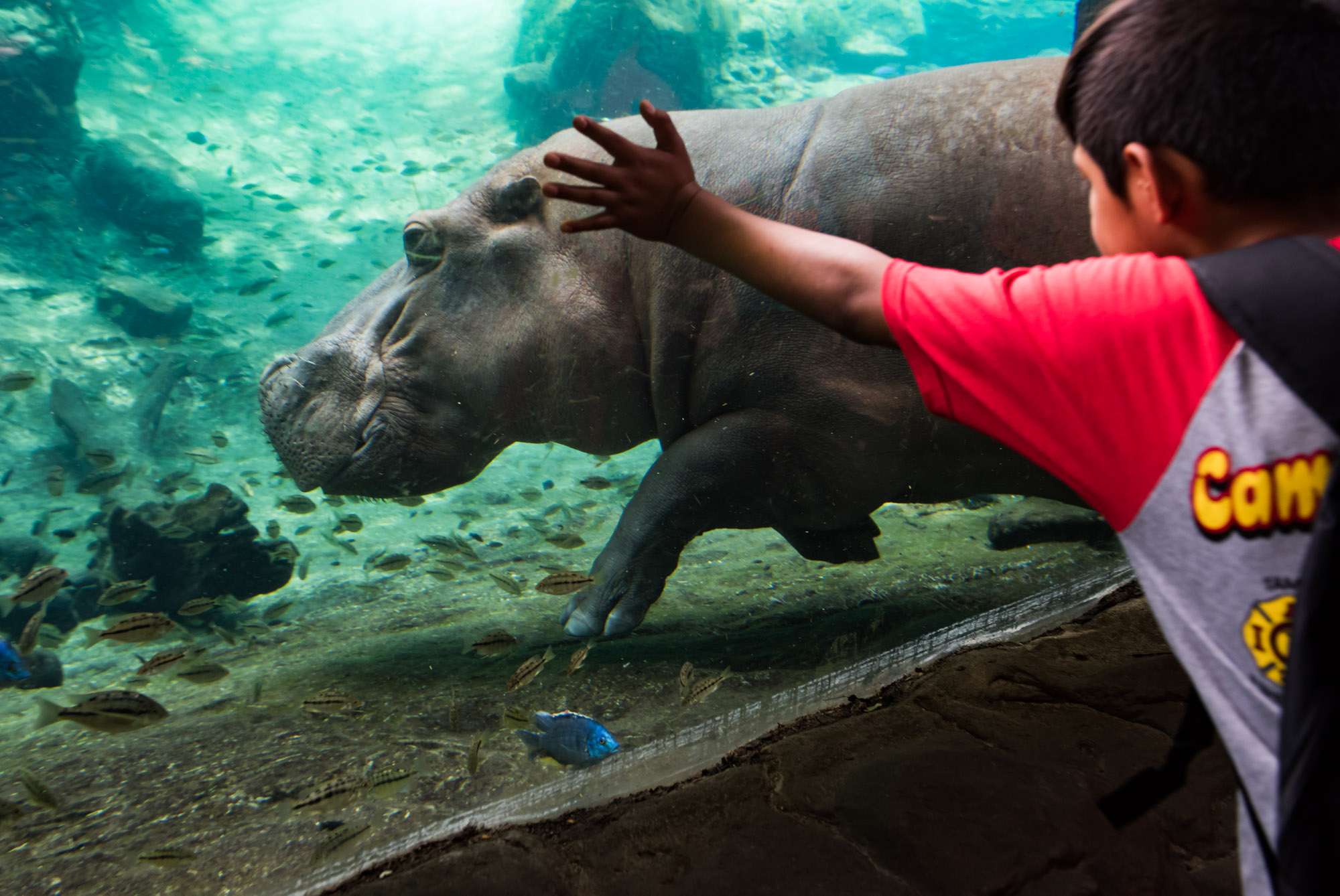 Boy looking at a hippopotamus at Busch Gardens with Camp Hopetake