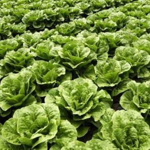 Field of Romaine lettuce
